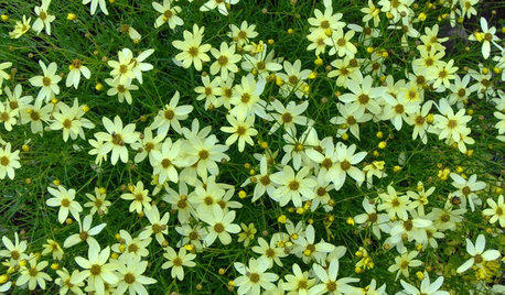Create a Meadow Effect With 'Moonbeam' Coreopsis