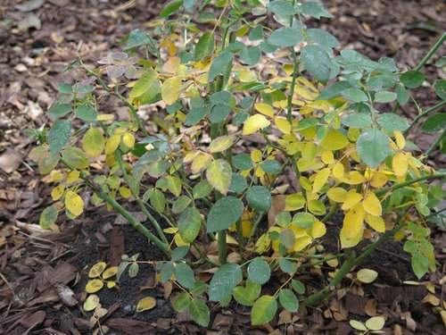 Yellow Leaves On Several Most Of My Roses