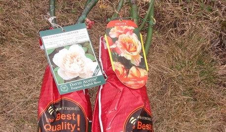 Как правильно: Сохранить саженцы роз до посадки