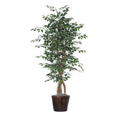 6' Variegated Ficus Executive