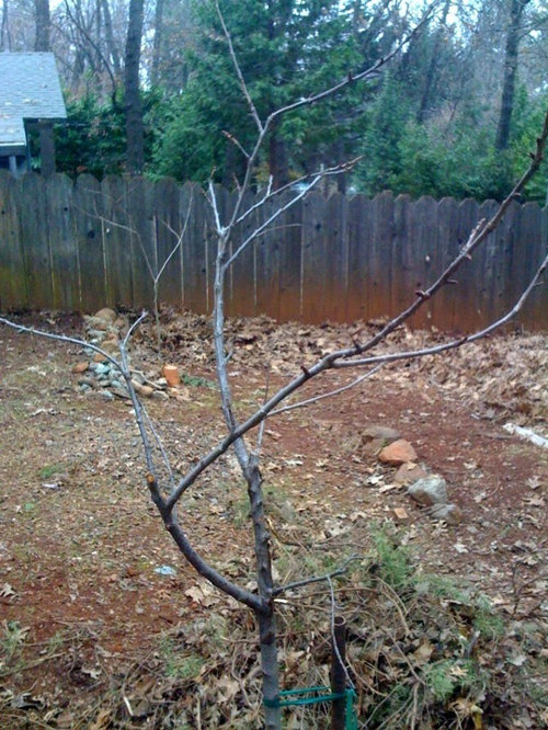 I Need A Little Guidance On The Pruning Of My Bing Cherry Tree It Seems Pretty Chaotic And Am Not Sure What To Do With Any Suggestions