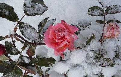 Личный опыт: Скорая помощь для роз