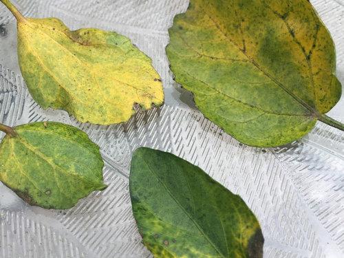 Hibiscus Leaves Problem