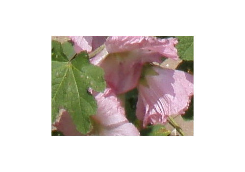 6 tall pink and white flowering plantweed mightylinksfo