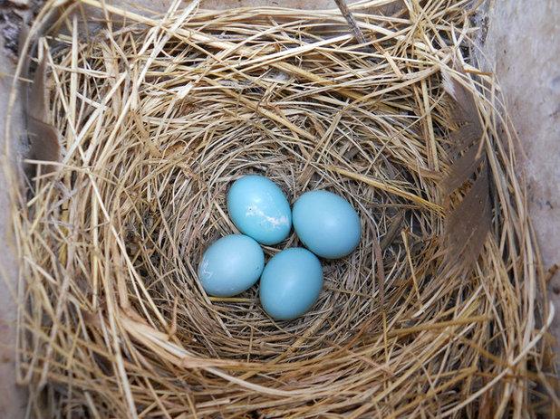 Blue Eggs in Nest Box