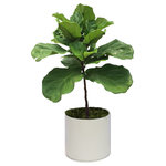 Scape Supply - Live 3' Ficus Lyrata Package, White - This live mini version of our top selling Ficus Lyrata is a great small plant option with the cool look of the fiddle leaf fig.  This plant stands about 3 foot tall and comes in a professional plastic planter in one of 5 colors, including moss covering and saucer.