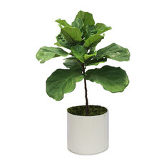 Live 3' Ficus Lyrata Package, White