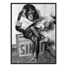 Artcom - Chimpanzee Reading Newspaper by  Bettmann - Photographs
