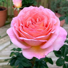Rose - Jubilee Celebration