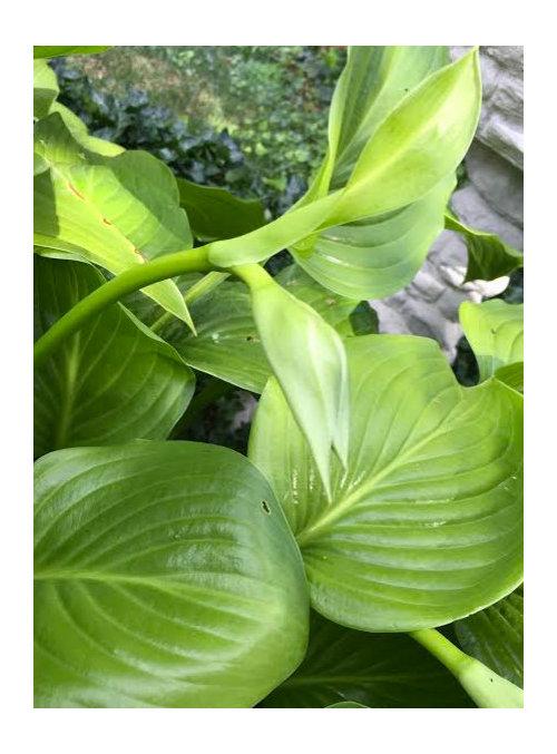 Hosta Id Large Green Single Flower Bud Per Stem