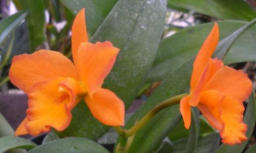 Blc Fuch S Orange Nugget Lea