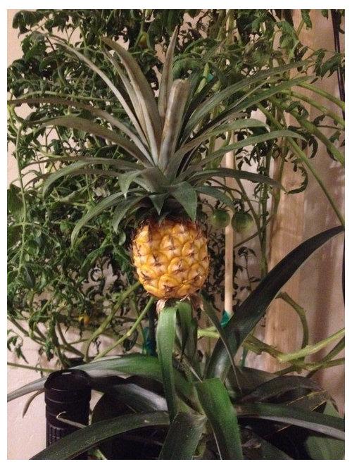 Newbie With Ornamental Pineapple Plant