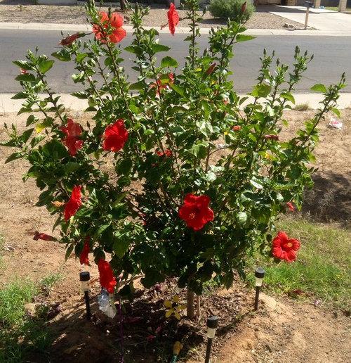 Hibiscus Shrub Tree