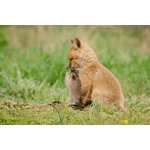"Pi Photography Wall Art and Fine Art - ""Sibling Kisses"" (Baby Foxes) Wildlife Photography Unframed Wall Art Print, 24""x - ""Sibling Kisses"" Wildlife Photography - Luster Photo Paper Unframed Wall Art Print"