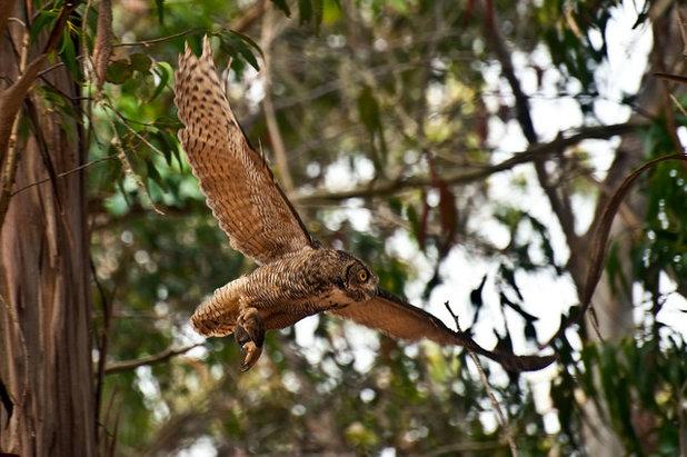 Great Horned Owl - 4