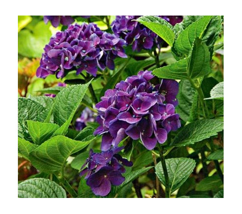 In Researching Purples I Noticed That White Flower Farm Is Listing Hydrangea Color Fantasy Their Photo Below The Stems Aren T Black More Dark Green
