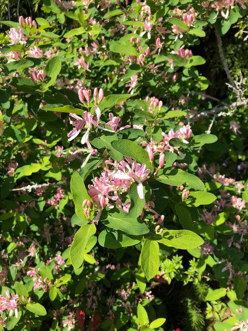 5 Shrub With Small Pink Flowers Pacific Northwest