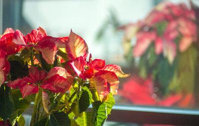 Cosa Fare con la Poinsettia - o Stella di Natale - Dopo le Feste?