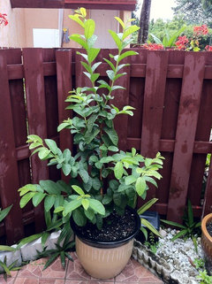 Ruby Supreme Guava Tree in Container
