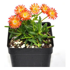 Delospermum HotCakes, Pumpkin Perfection - Ice Plant