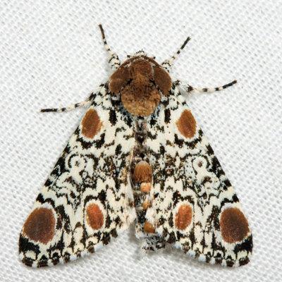 Harris's Three Spot Moth