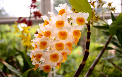 Orchids 101: Try Something Different With Dendrobiums
