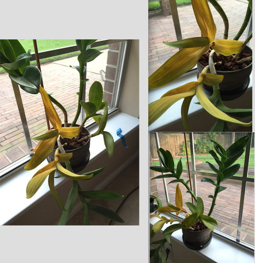 Rescue Orchid Help Yellow Leaves After Repotting