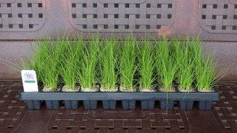 Carex praegracilis plug trays