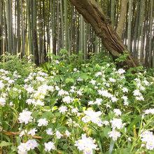 タケノコ収穫(世田谷の竹)