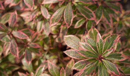 Great Design Plant: Little Heath Andromeda Brings 4-Season Color