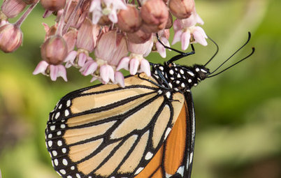 Help Monarchs and Other Butterflies by Planting Common Milkweed