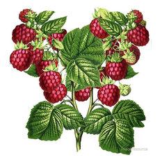 """Raspberries"" Botanical Print, 42x44 cm"