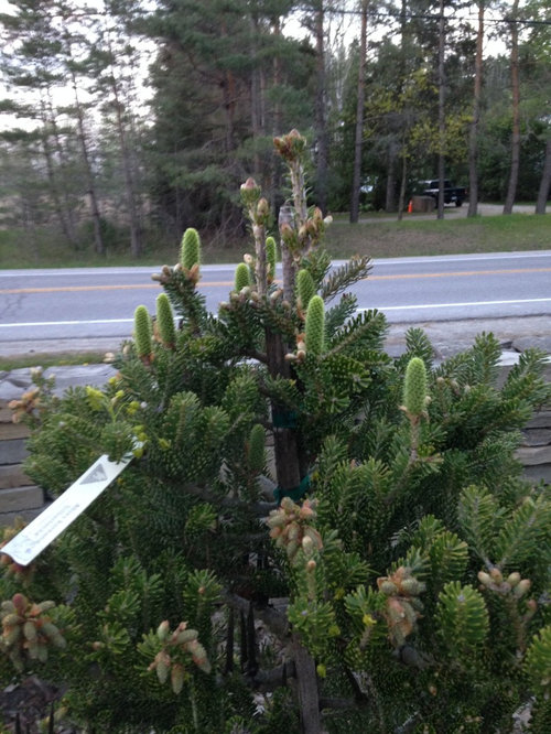 First Spring For Conifers