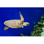 "Pi Photography Wall Art and Fine Art - ""Sea Turtle 1"" Underwater Wildlife Photography Unframed Wall Art Print, 20""x30"" - ""Sea Turtle 1"" Wildlife Photography - Luster Photo Paper Unframed Wall Art Print"