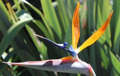 Outdoor Plant Profile: Bird of Paradise