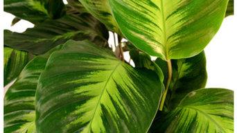 Castell Wholesale Nursery - Tropical Plants