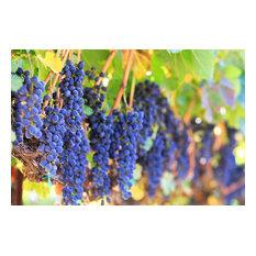 """Wine Grapes on the Vine"" Aluminum Wall Art by Aluminyze, 11x17"