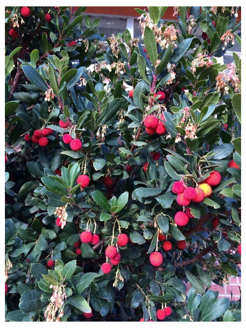 Please Help Identify This Bush With Red Berries