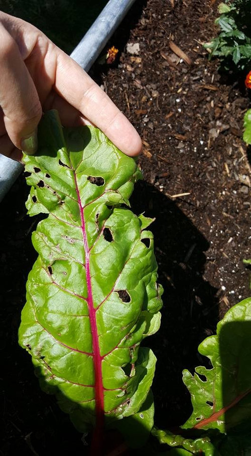 Holes In Swiss Chard Leaves Insects Or