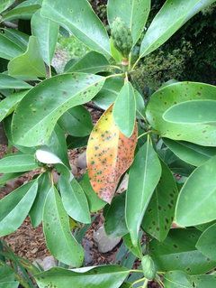 Sweetbay Magnolia Leaf Spotting And Turning Brown