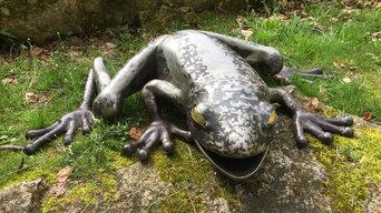 grenouille geante (1,4 metre d'envregure)