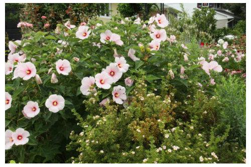 Hardy Hibiscus Season