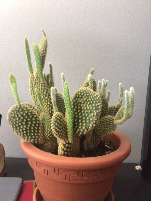 Cactus For About 3 Years Now It S Roughly 8 Inches Tall And 10 Around Has A Flat Paddle Like Structure Very Fine Bristles