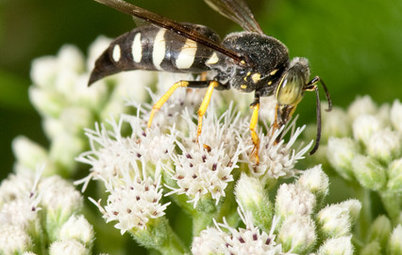 Sand Wasps Keep True Bugs in Check and Help Pollinate Summer Flowers