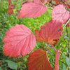Great Design Plant: Viburnum Rafinesquianum Colors the Fall Woodland