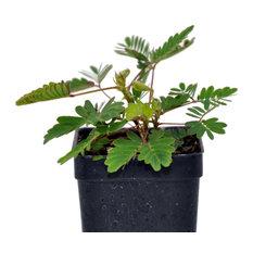Mimosa pudica - Fairy Sensitive Plant