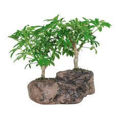 brussels bonsai hawaiian umbrella bonsai tree in rock pot plants