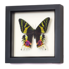 Madagascan Sunset Moth Real Framed Moth