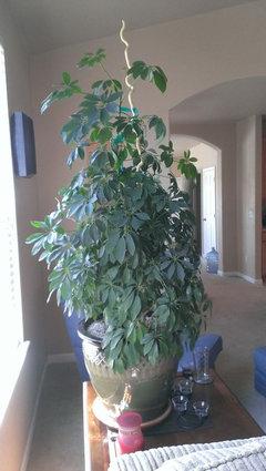 What kind of tree looks like an umbrella 10