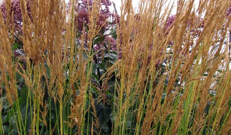 Great Design Plant: Feather Reed Grass